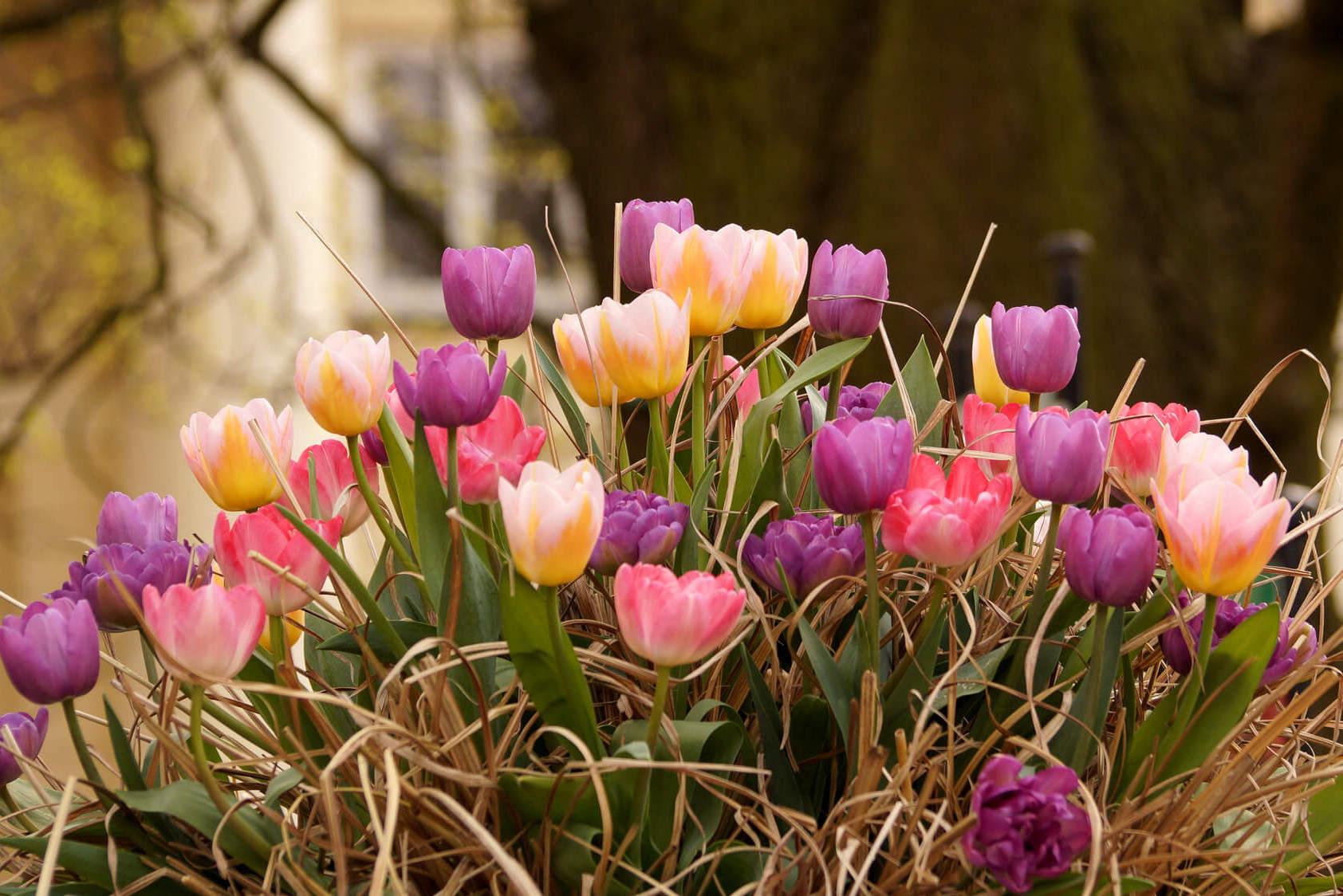 Tulipa x hybrida – tulipan mieszańcowy