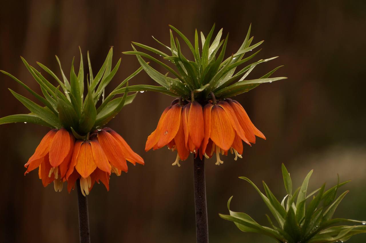 Fritillaria imperialis – szachownica cesarska