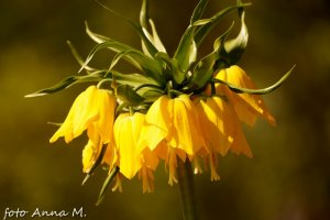 Fritillaria imperialis - szachownica cesarska, odmiana żółta