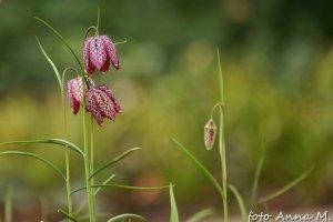 Fritillaria meleagris - szachownica kostkowata