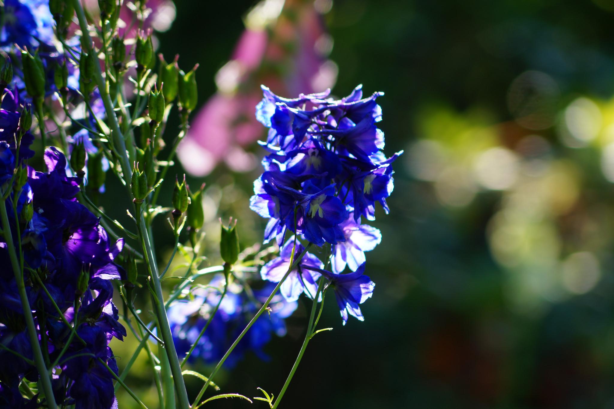 Delphinium ajacis (Consolida ajacis) – ostróżka ogrodowa, ostróżeczka ogrodowa