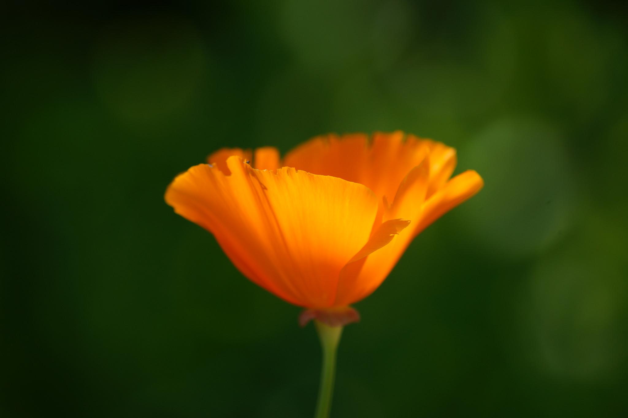 Eschscholzia californica – eszolcja kalifornijska, pozłotka, maczek kalifornijski