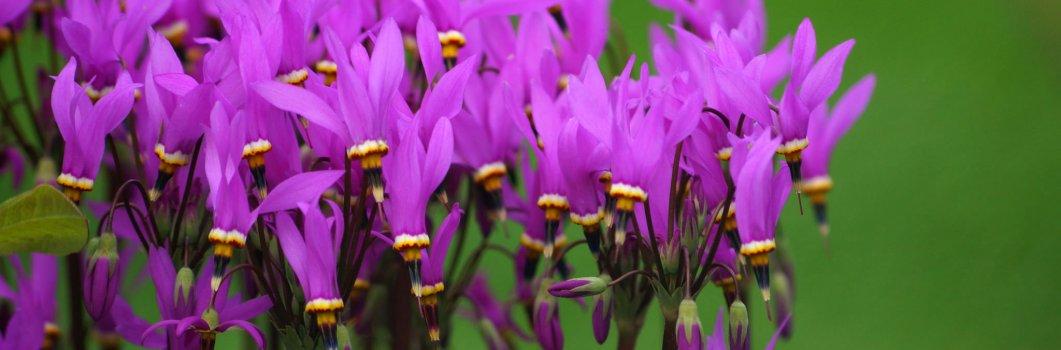 Dodecatheon meadia, Dodecatheon pauciflorum – bożykwiat Meada