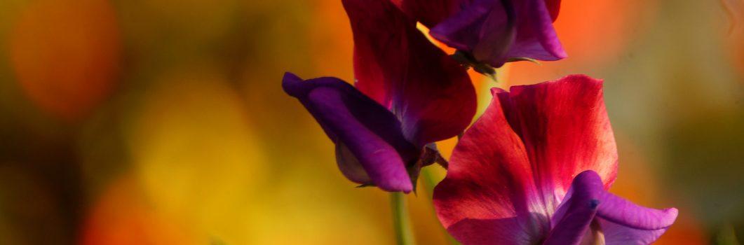 Lathyrus odoratus – groszek pachnący, lędźwian wonny