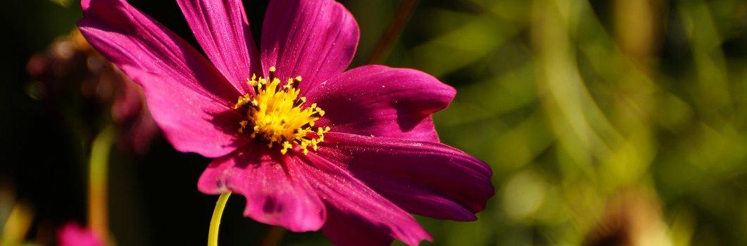 Cosmos bipinnatus – kosmos podwójnie pierzasty, onętek, warszawianka