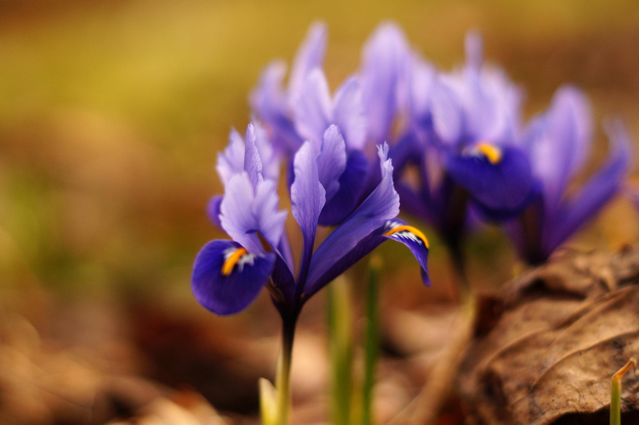 Iris reticulata – kosaciec żyłkowany