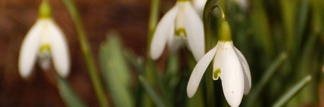 Galanthus nivalis – śnieżyczka przebiśnieg