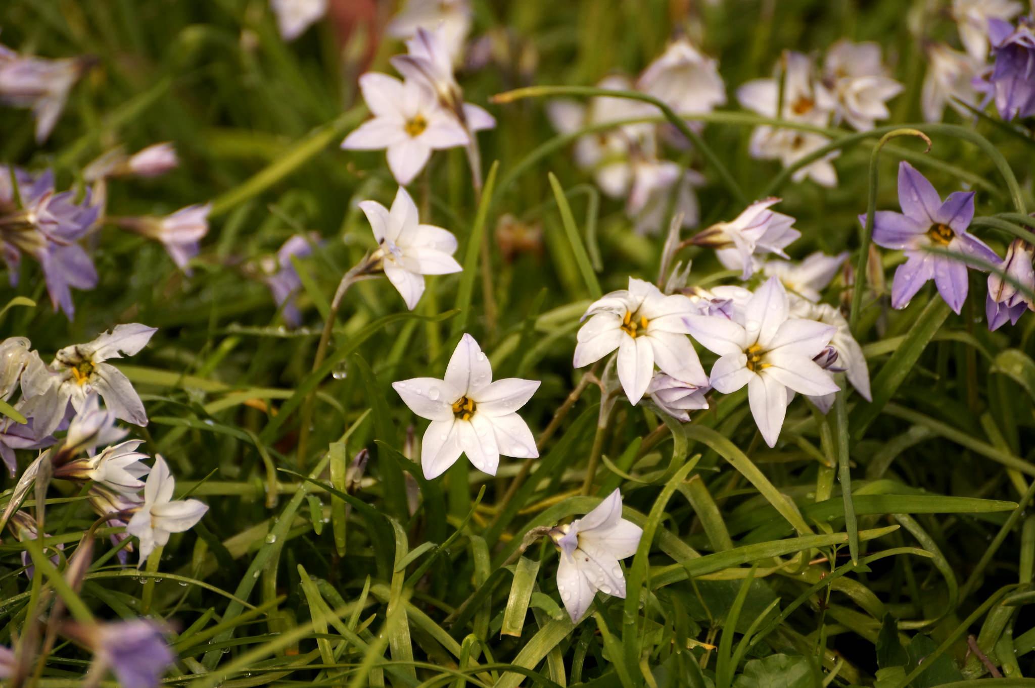 Ipheion uniflorum (Tristagma uniflorum) – ifejon jednokwiatowy