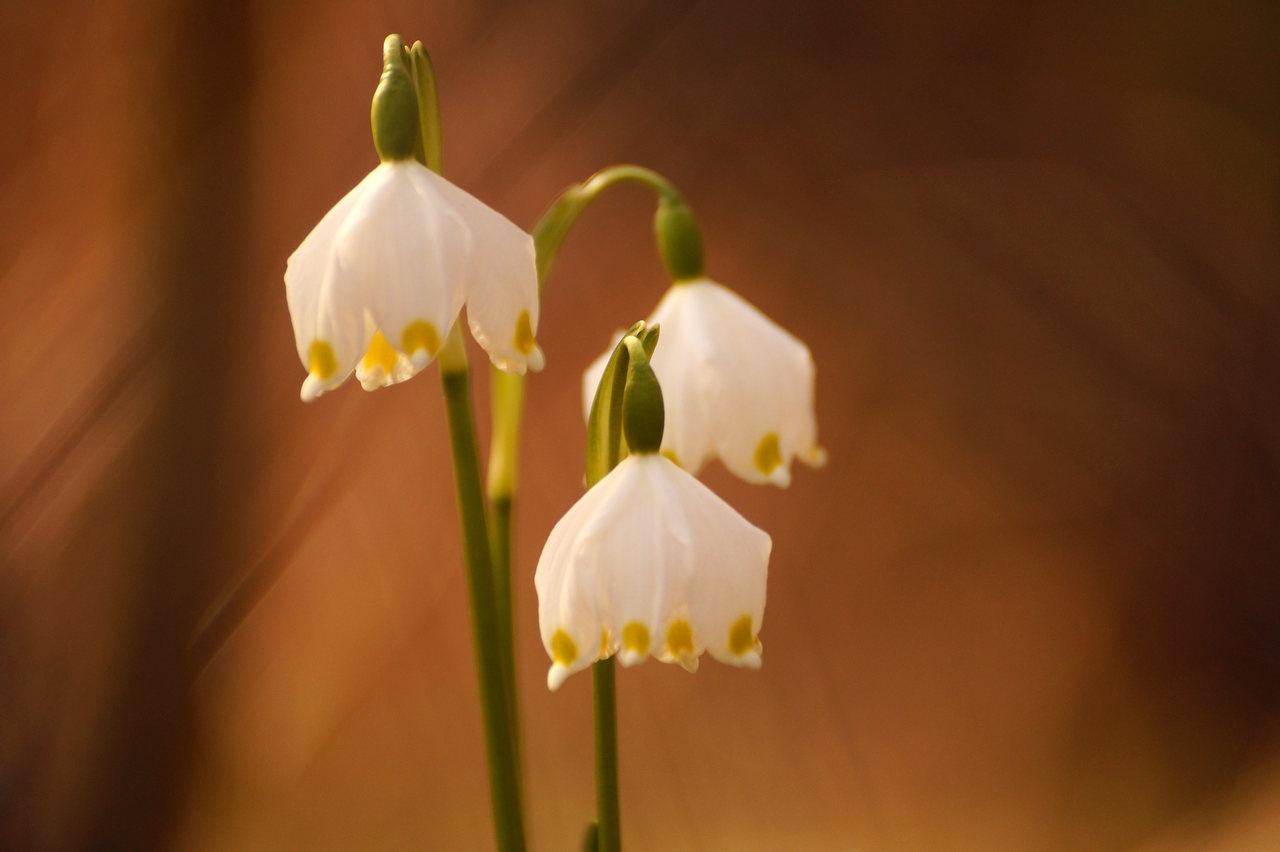 Leucojum vernum – śnieżyca wiosenna