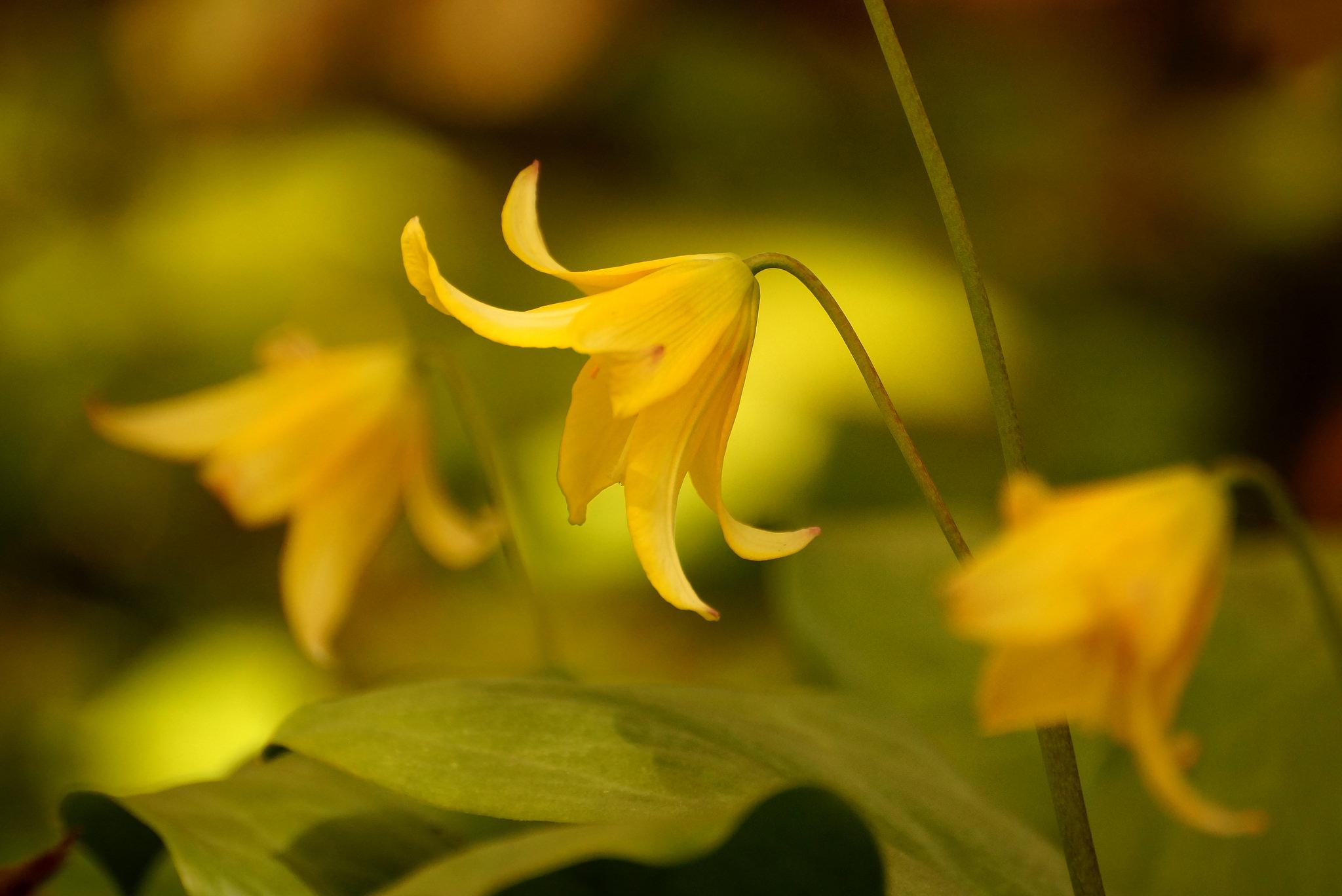 Erythronium hybrida – psiząb mieszańcowy
