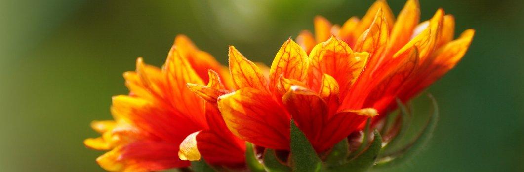 Gaillardia x hybrida – gailardia ogrodowa