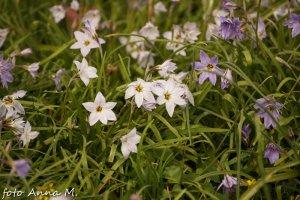 Ipheion uniflorum (Tristagma uniflorum) - ifejon jednokwiatowy