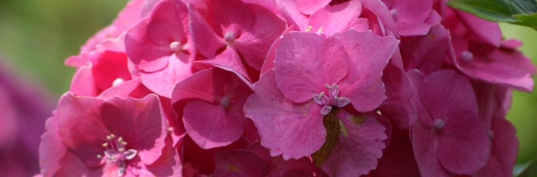 Hydrangea macrophylla – hortensja ogrodowa