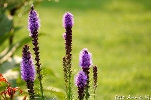 Liatris spicata - liatra kłosowa