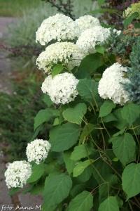Hydrangea arborescens - hortensja krzewiasta
