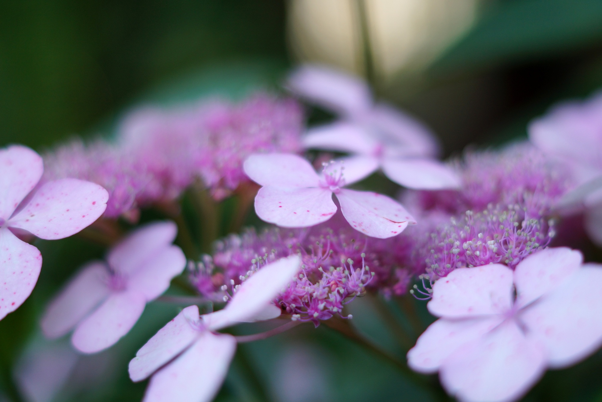 Hydrangea serrata – hortensja piłkowana