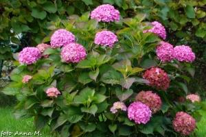 Hydrangea - hortensja