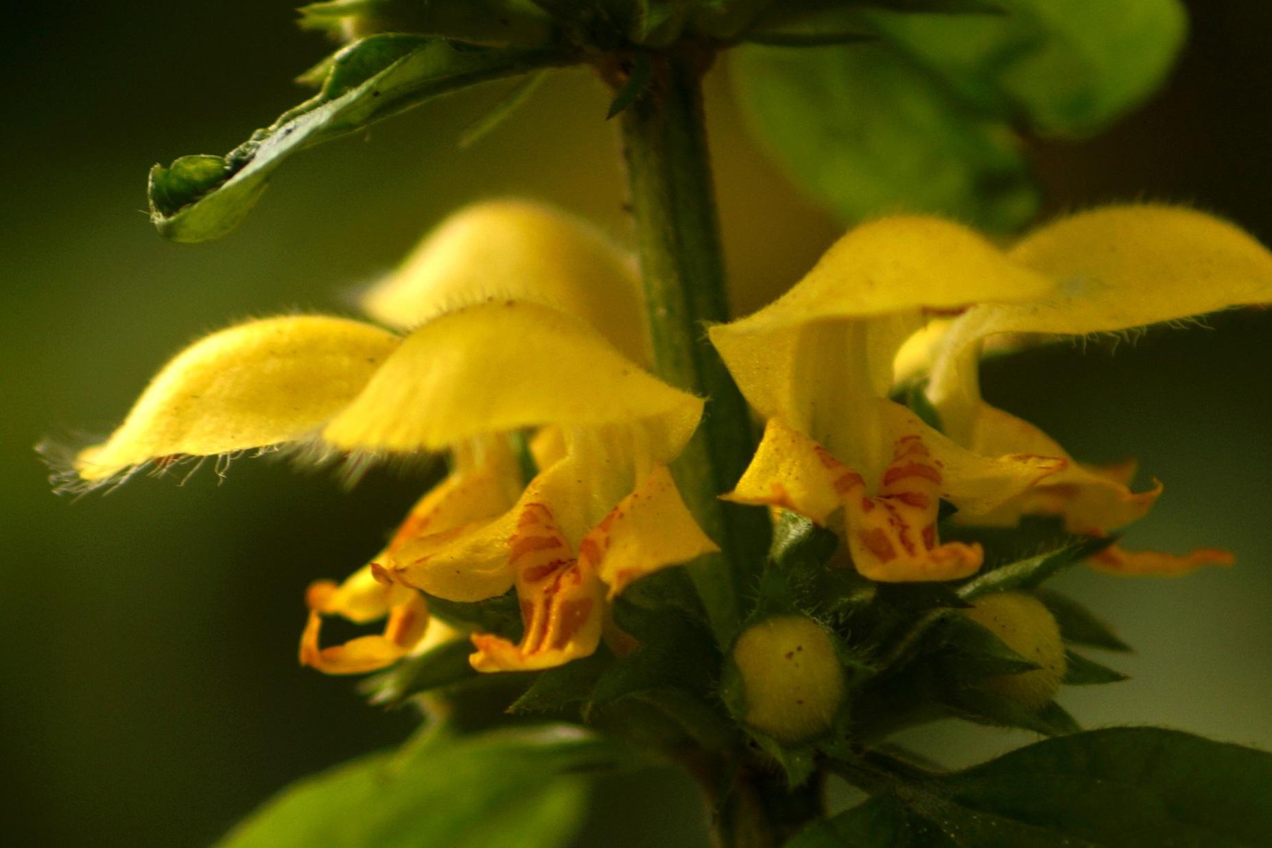 Lamiastrum galeobdolon, Galeobdolon luteum – gajowiec żółty