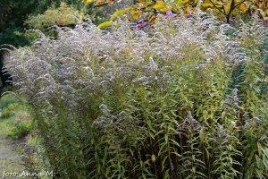 Solidago x hybrida - nawłoć ogrodowa, mimoza, po kwitnieniu