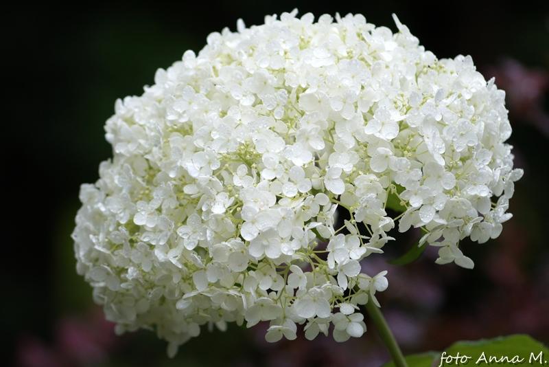 Hortensja krzewiasta wytwarza wielkie kuliste kwiatostany