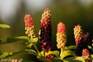 Phytolacca americana - szkarłatka amerykańska