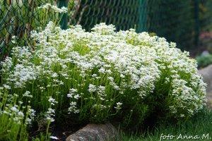 Iberis sempervirens – ubiorek wiecznie zielony