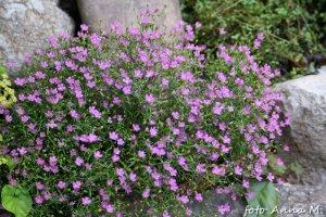 Gypsophila paniculata - łyszczec wiechowaty