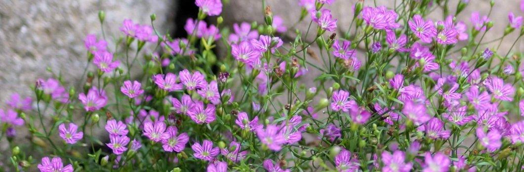 Gypsophila paniculata – łyszczec wiechowaty