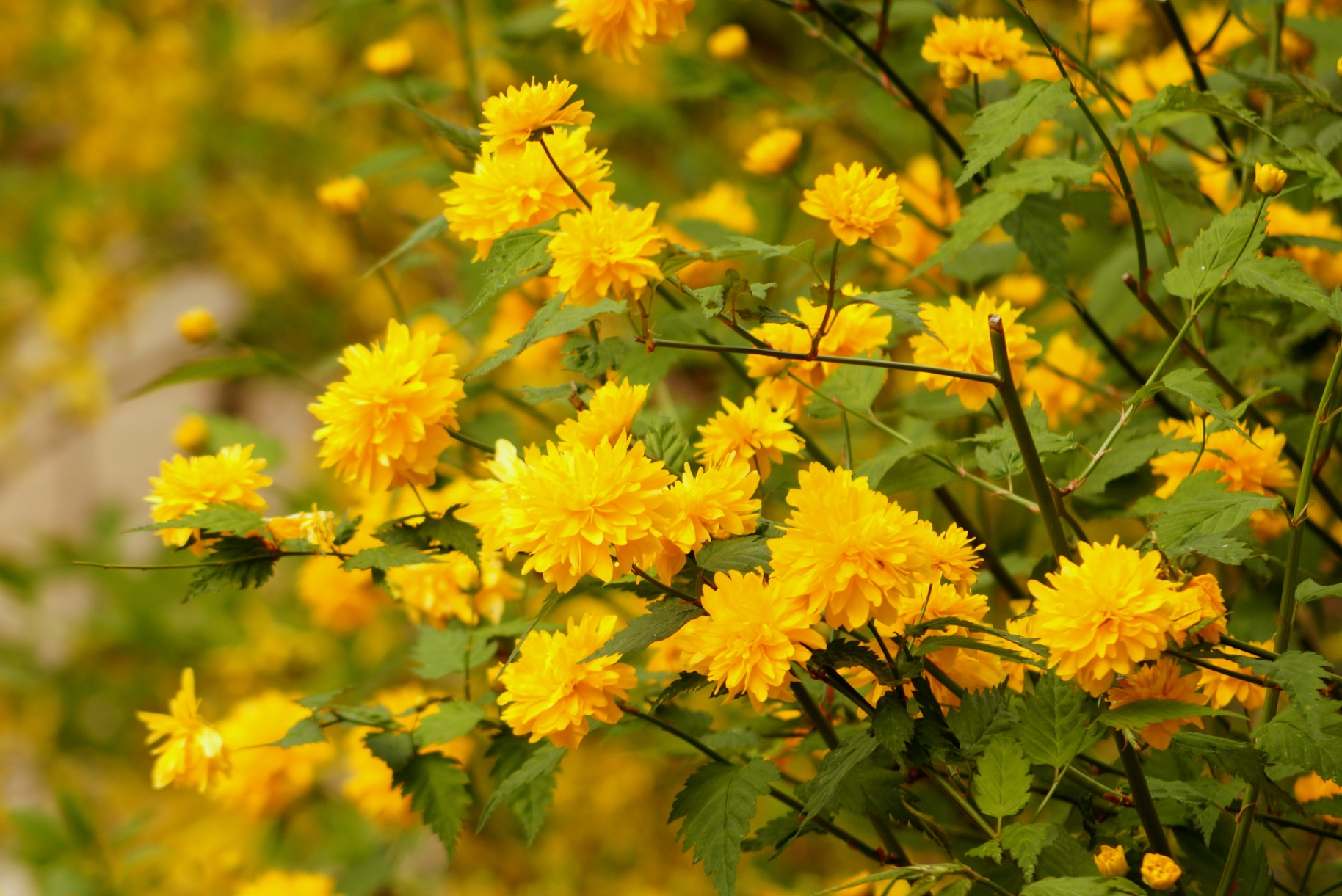 Kerria japonica – złotlin japoński