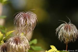 Clematis alpina - powojnik alpejski, owocostany