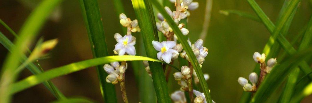 Liriope muscari – liriope szafirkowate