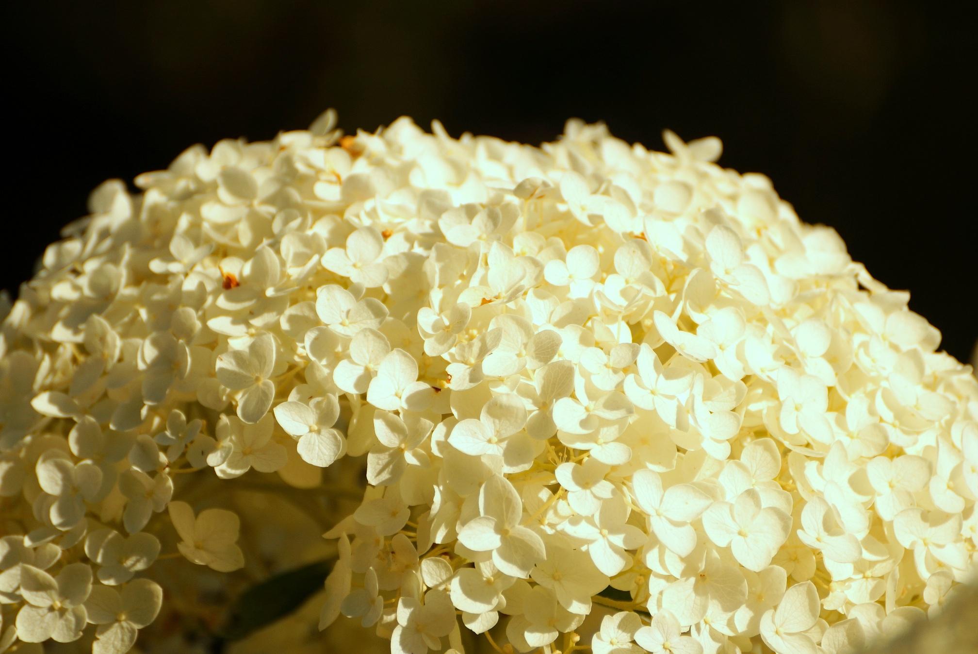 Hydrangea arborescens – hortensja krzewiasta, hortensja drzewiasta