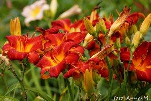 Hemerocallis x hybrida - liliowiec ogrodowy, żółta lilia
