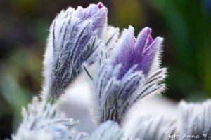 Gęste włoski chronią sasankę przed zimnem