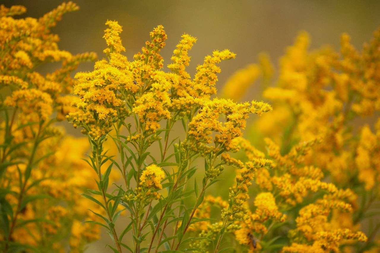 Solidago x hybrida – nawłoć ogrodowa, mimoza