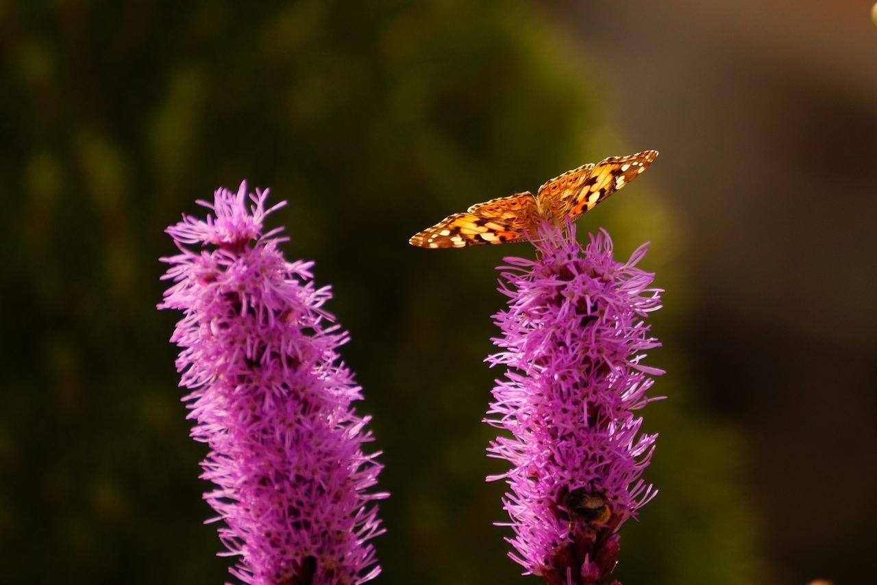 Liatris spicata – liatra kłosowa