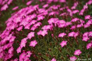 Dianthus gratianopolitanus, Dianthus caesius - goździk siny, goździk majowy
