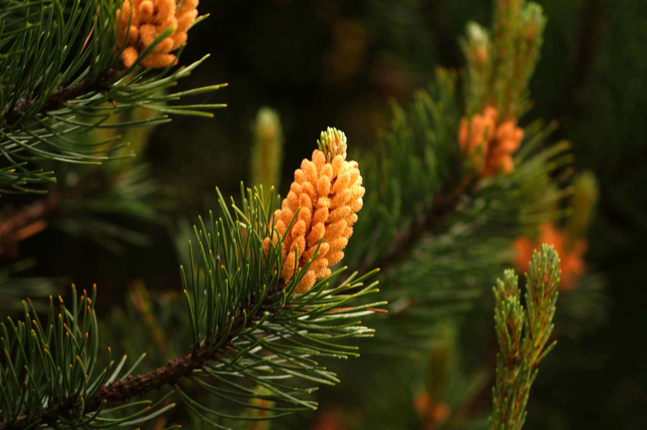 Pinus – sosna
