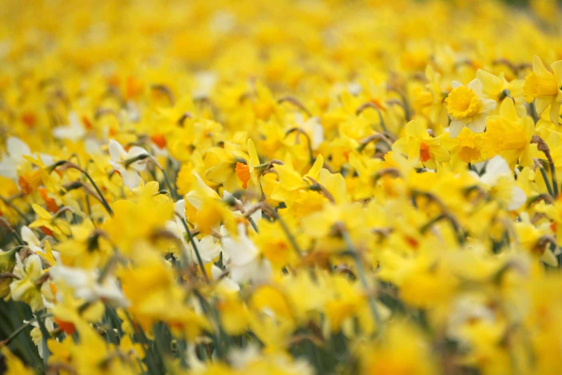 Narcissus – narcyzy