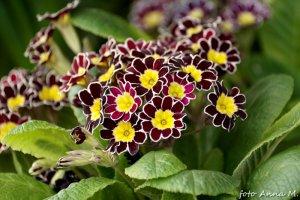 Primula elatior – pierwiosnek wyniosły `Gold Lace Black`