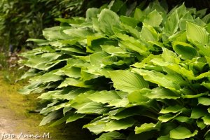 Hosta fortunei - funkia Fortune`a