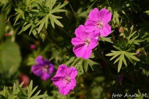 Geranium sanguineum - bodziszek czerwony