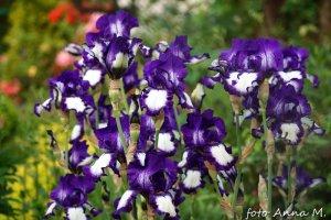 Iris x barbata, Iris x germanica - kosaciec bródkowy, kosaciec germański
