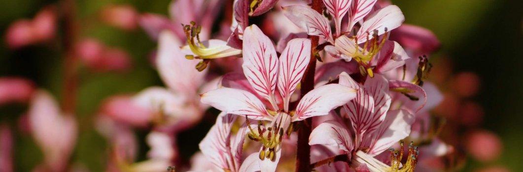 Dictamnus albus, D.fraxinella – dyptam jesionolistny, gorejący krzew Mojżesza