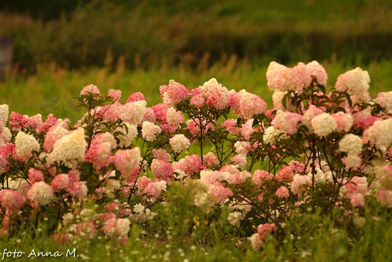 Hortensja bukietowa `Vanilla Fraise` ma kwiatostany wyjątkowej barwy