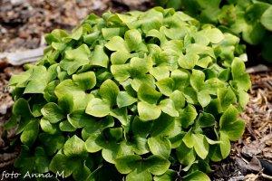 Hepatica nobilis – przylaszczka pospolita