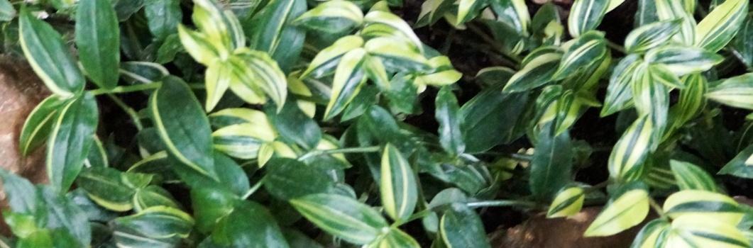 Tradescantia albiflora – trzykrotka biała