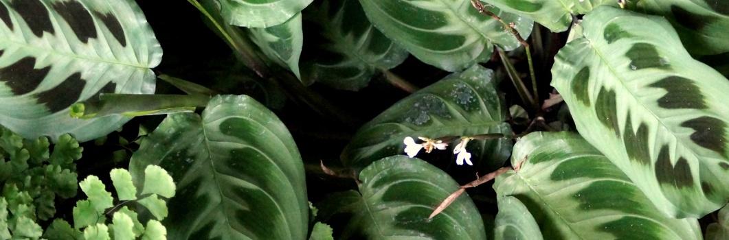 Marantha leuconeura – maranta biało unerwiona