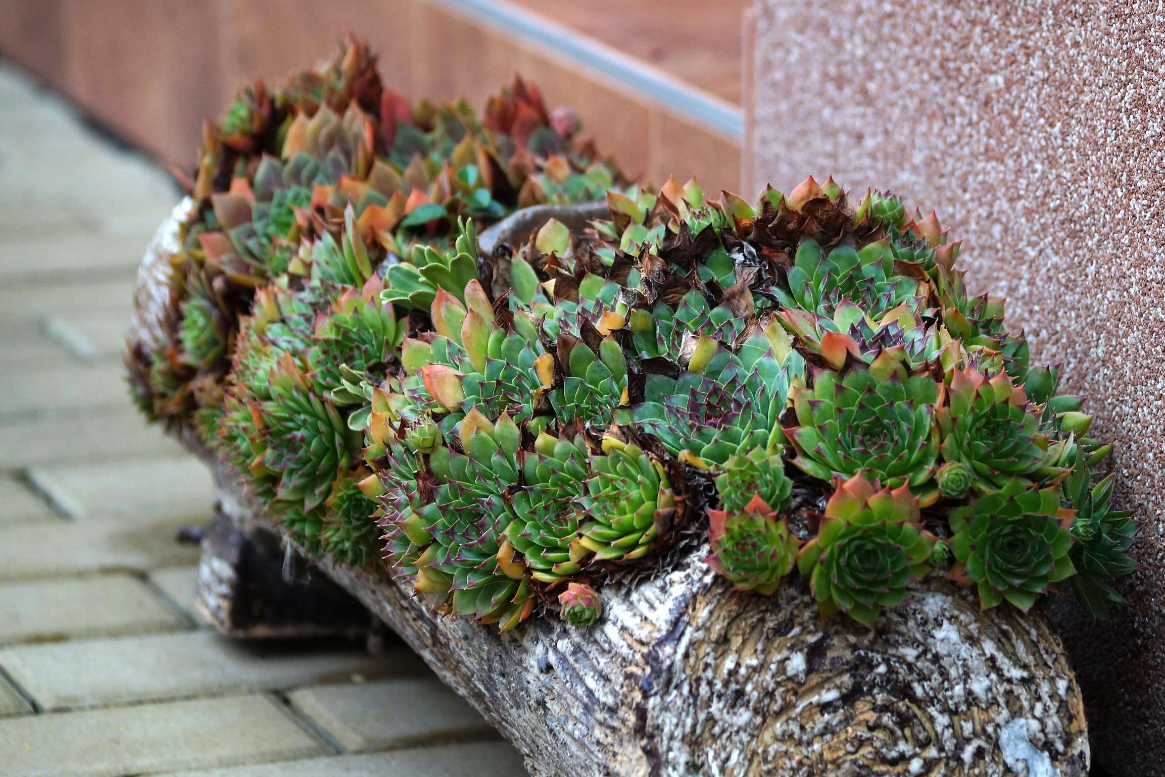 Sempervivum – rojnik
