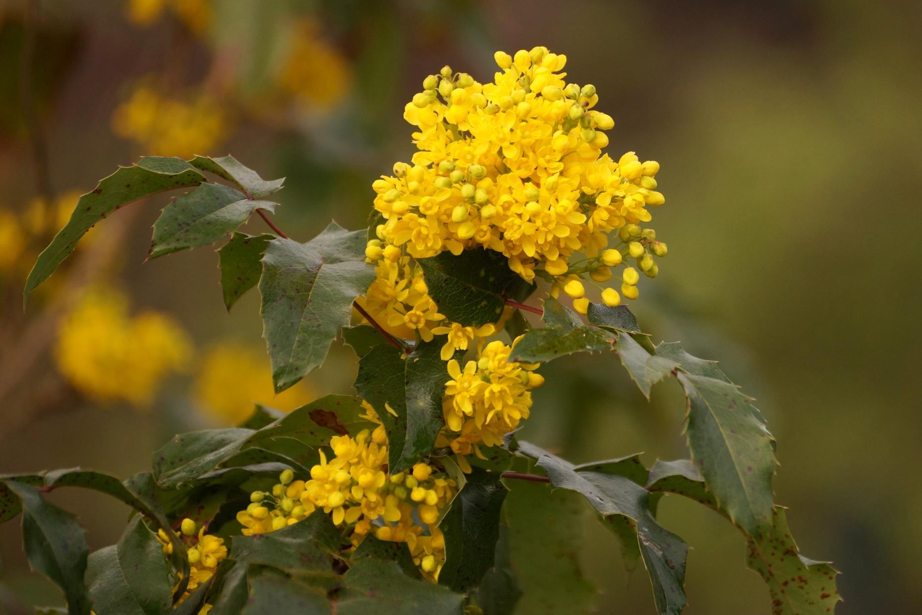 Mahonia aquifolium – mahonia pospolita